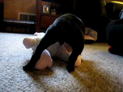 Boston Terrier Puppy playing with stuffed toy