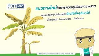 แนวทางใหม่ในการควบคุมโรคตายพรายและหนอนเจาะลำต้นกล้วยโดยใช้เชื้อจุลินทรีย์