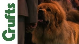 Nonton Tibetan Mastiff   Best Of Breed   Crufts 2012 Film Subtitle Indonesia Streaming Movie Download