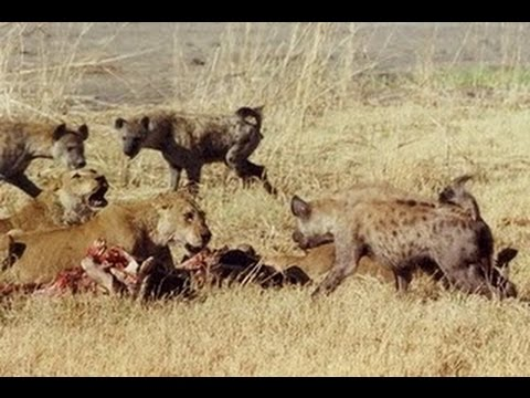 Video Lion VS Deer, Deer Being Crowded Together In Crowded Prey Predator Others download in MP3, 3GP, MP4, WEBM, AVI, FLV January 2017