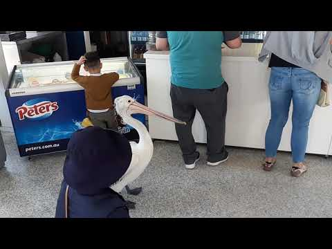 Video - Πελεκάνος στέκεται στην ουρά για Fish & Chips