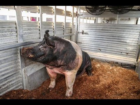 Meet Boris the Indiana State Fair s Biggest Hog
