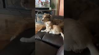 Kiedy kot wychowuje się z Pit bullem i odzywają się w nim naturalne instynkty