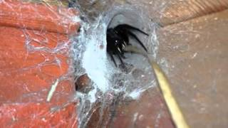 'Shed Guardian' – this huge spider needs to be killed with fire!