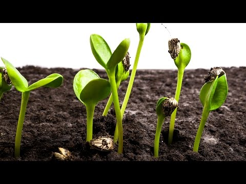 Video Sunflower Seeds Germination and Growth Time Lapse download in MP3, 3GP, MP4, WEBM, AVI, FLV January 2017