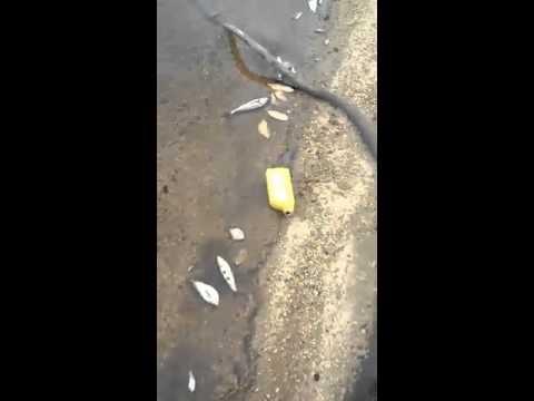 Vídeo mostra mortandade de peixes em Ferreira Gomes, no Amapá. Seles Nafes.Com