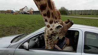 Żyrafa wkłada głowę do samochodu… a kobieta zamyka okno.