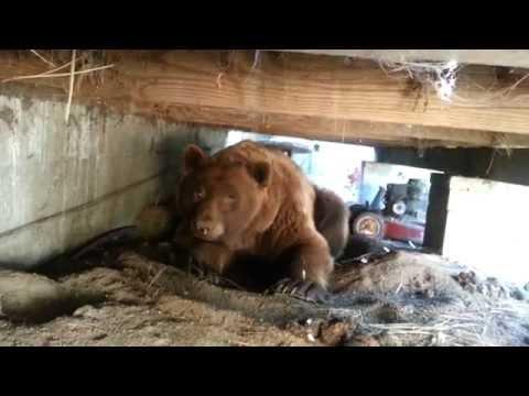 這家人在庭院露台下發現這隻大棕熊,整個驅離過程竟讓人嚇破膽!0:50真的會被嚇死!