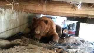 Il essaie de chasser un ours qui est sous la terrasse de la maison