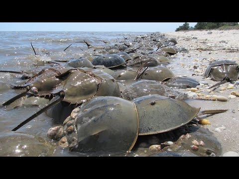 Fact About Horseshoe Crabs (Nature Documentary)