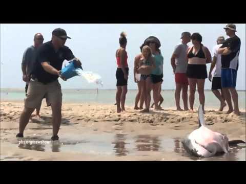Strandgangers redden grote witte haai