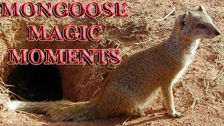 MONGOOSE MAGIC MOMENTS Yellow Mongoose Cynictis penicillata TSEBOKOLODI GROUP