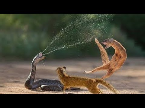 Snake King Cobra Vs Mongoose Real Fight Big Battle In The Desert -  Most Amazing Attack of Animals