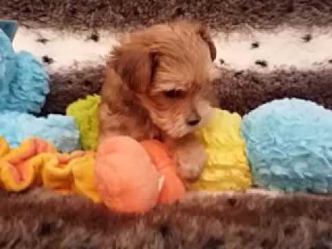 So Playful Morkie Little Boy Puppy!