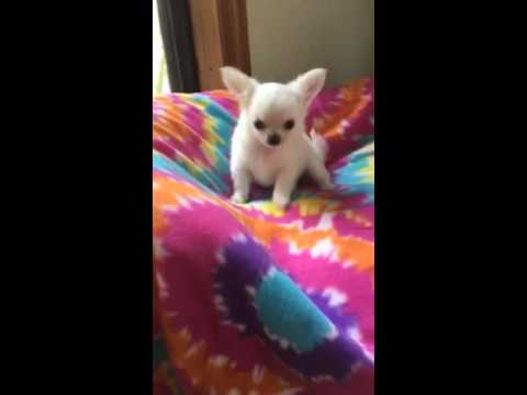 Beautiful Tiny Long Coat Chihuahua Puppy