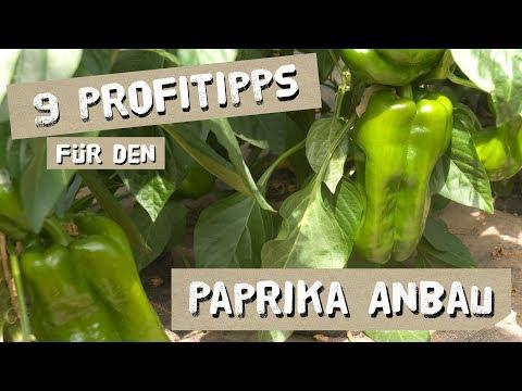 9 Tipps für den erfolgreichen Paprika-Anbau - Düngen, Königsblüte, Ausgeizen, uvm