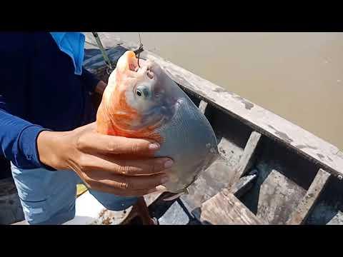 Câu cá chim theo sông lớn toàn cá khủng - Thời lượng: 8:35.