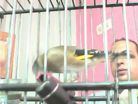 طائر الحسون يغرد    بتعاوق و تزاوقchardonneret maroc 2011(part 1 / 3.flv