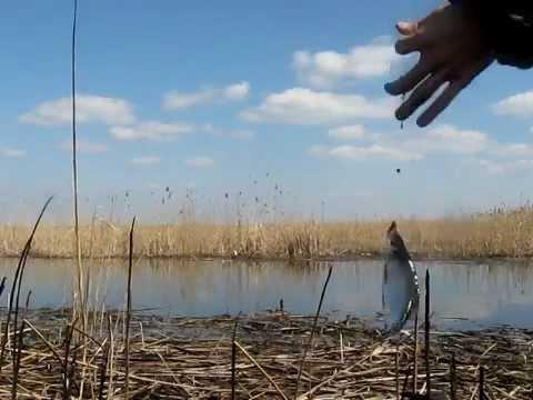 как ловить тарань в лиманах азова