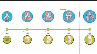E-Learning Video : How our lungs form