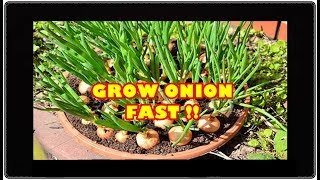 Video # TIS # Bawang Merah Subur Lebat Umbi ZPT Akar Tanam Pot Bombay brebes Hama   How to Grow Shallots MP3, 3GP, MP4, WEBM, AVI, FLV September 2019