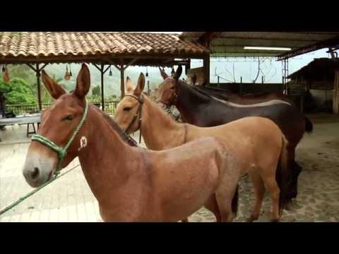 A Lomo de Mula 6 - Cómo Comprar una Mula - TvAgro por Juan Gonzalo Angel