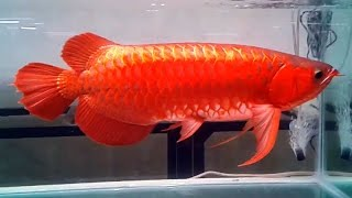 Video Super red Arowana collection Most amazing fish collection I've ever seen MP3, 3GP, MP4, WEBM, AVI, FLV September 2017
