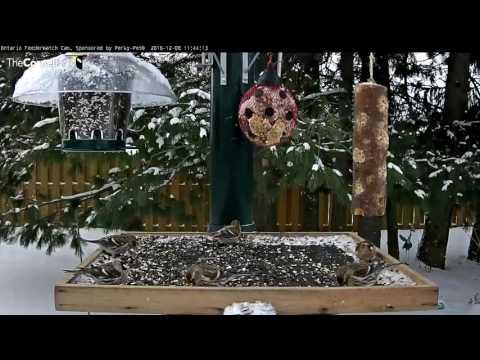 Common Redpolls - Ontario - Dec. 8, 2016