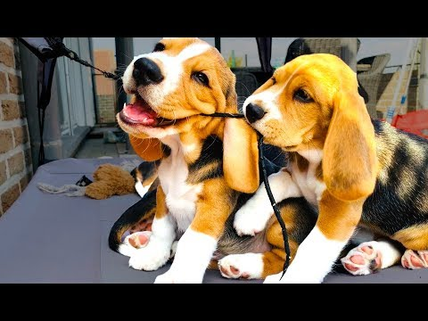 beagle puppies growing up from 1 to 8 weeks!