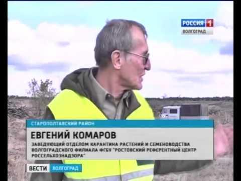 В хвойных лесах Волгоградской области активизировался черный усач.