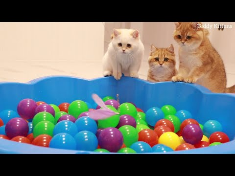 Funny Kittens and 200 Balls in a Ball Pit !   Teddy Kittens