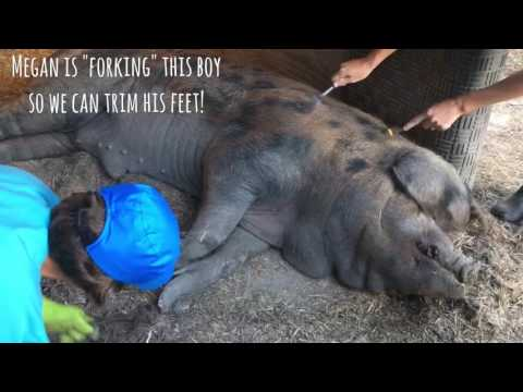 Gently poking pigs with a fork causes them to relax and fall asleep so you can care for them