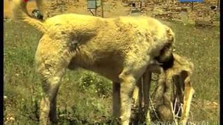 kangal köpekleri belgeseli  video izle  indir