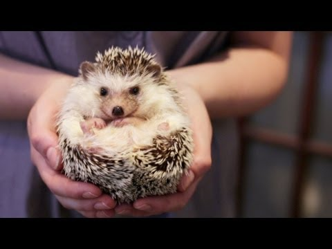 pet - HELLO! Welcome to our video where we tell you the truth (the good and the bad) about owning a pet hedgehog. This video will tell you everything you need to k...