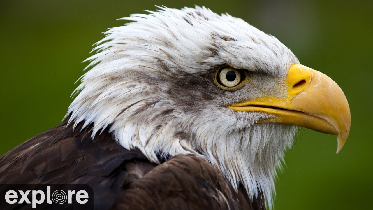 野生の鷲の巣をのぞいてみよう【鷲観察】Decorah Eagles