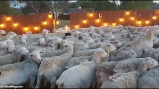 Video OH No 200 sheep just stormed my backyard! MP3, 3GP, MP4, WEBM, AVI, FLV Agustus 2019