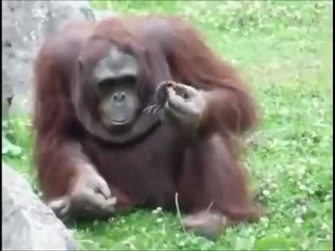 Orangutan saves a baby chick from drowning.