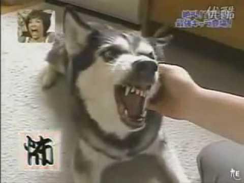 摸牠就變極度兇惡的狗臉