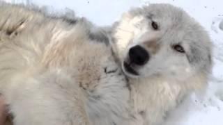 Wolf Belly Rubs