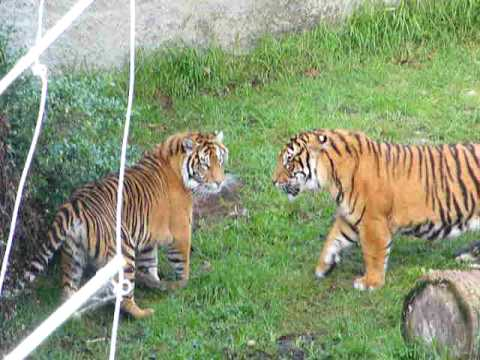 Tigers in an argument