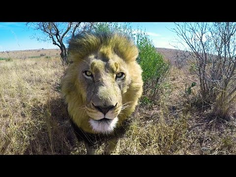 Loading The Lions | The Lion Whisperer (видео)