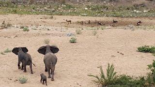 Des éléphants protègent leur petit d'une meute de lycaons.