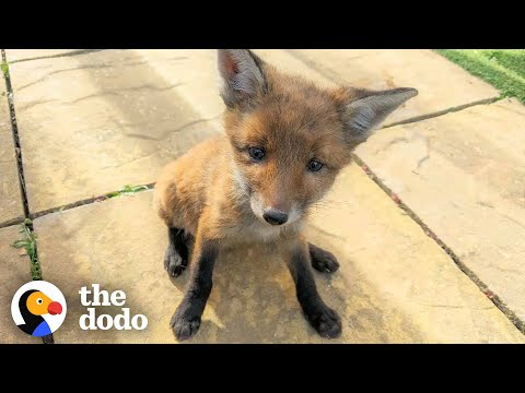 Family Rescues Baby Fox In Their Backyard And Reunites Him With Mom | The Dodo