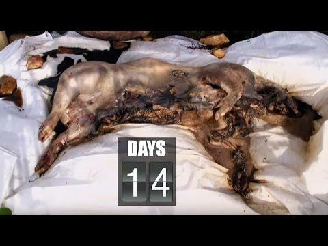 他們將這隻豬死掉後的腐爛過程完整地記錄下來,揭秘肉體是如何慢慢地完全消失在這個世界上…