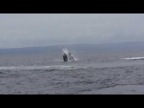 Breaching Humpbacks