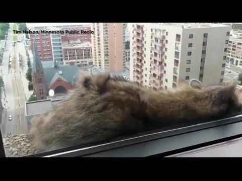 Raccoon scales St. Paul skyscraper to roof