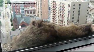 Video Raccoon scales St. Paul skyscraper to roof MP3, 3GP, MP4, WEBM, AVI, FLV Juni 2018
