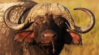 Video Lion vs Buffalo Epic Battle In An Epic War Documentary 2015 MP3, 3GP, MP4, WEBM, AVI, FLV Desember 2018