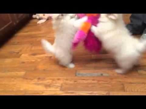 GLory-female pomapoo video
