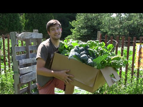 Large Harvest From The 100% Organic Garden